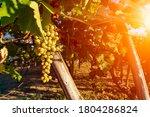 Close Up Of Italian Grape...