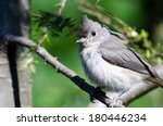 Young Tufted Titmouse Perched...