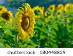 beautiful sunflowers in the... | Shutterstock . vector #180448829