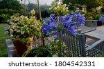 Deep Blue Agapanthus Flower...