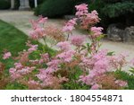 A group of Queen of the Prairie, Filipendula rubra, blooming in Janesville, Wisconsin