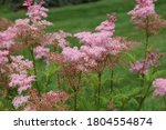 Close up of a group of Queen of the Prairie, Filipendula rubra, blooming in Janesville, Wisconsin