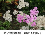 Close up of the pink flowers and white seedheads of a Pretty Belinda Yarrow plant, Achillea hybrida blooming in Janesville, Wisconsin