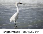 Snowy Egret Standing In Ankle...