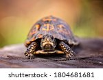 Box Turtle On A Tree Stump In...