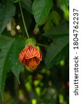 Small photo of Close up of a colorful flower Abutilon pictum