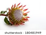 Protea Flower Isolated On Whit...