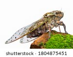 Large Brown Cicada On The Rock...