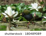 Small photo of A Black Crake (Amaurornis flavirostris)walking through white lily flowers
