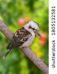 Kookaburras  Terrestrial Tree...