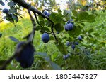 Branch With Plums And Leaves....