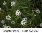 White Sweet Alyssum Flowers In...