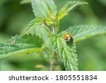 Single Ladybird Red And Black...