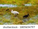Yellow Billed Stork Ibis Birds...