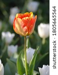 Beautiful Very Orange Tulip...