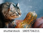 Fluffy Cat With Pumpkins Of...