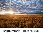 Wheat Field With Cloudy Sunset