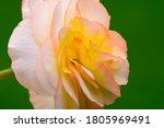 Begonia Flower  Closeup. Detail ...