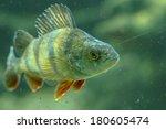 european perch | Shutterstock . vector #180605474