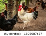 Rooster On Farm Running Free....