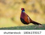 Pheasant Photographed On The...