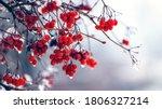 Wet Berries Of Viburnum In...