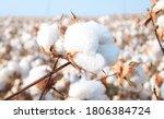 Cotton in a cotton field near...