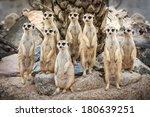 Portrait Of Meerkat On The Roc...