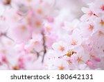 sakura tree | Shutterstock . vector #180642131