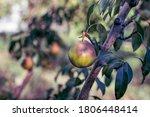 Organic Pear Fruit On Tree ...