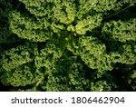 Kale Or Borecole  Brassica...