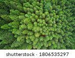 Dense Pine Forest. Plantation...