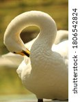 A Beautiful White Swan With A...