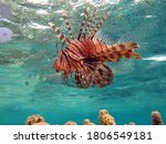 Lion Fish In The Red Sea.