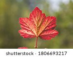 A Beautiful Red Leaf Of A...