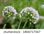 allium flowers  onion  garlic ...