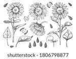 sunflower vector. isolated... | Shutterstock .eps vector #1806798877