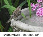 A sparrow in a bird bath in...
