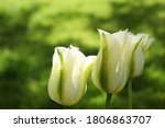 white and green striped tulips close up in spring garden