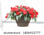 Red Impatiens In Potted ...
