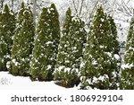 Snow On Thujas In Winter