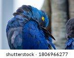 A Sleeping Hyacinth Macaw ...