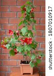 Small photo of Abutilon with orange flowers in a flower pot against a brick wall