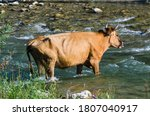Brown Cow Tries To Cross A...