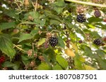 Wild Blackberry Fruits Forming...