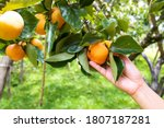 A Hand Holding Persimmon Fruit...