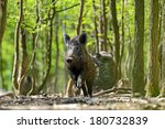 Wild Boar In Their Natural...