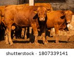 Limousine bulls on a farm....