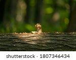 Eastern Chipmunk Eats Nuts In...