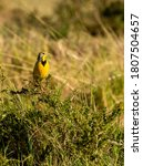 A Yellow Throated Longclaw...